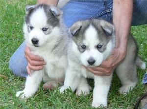 Premium Siberian Husky Puppies For Adoptionfree Akron Oh