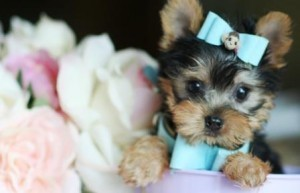 charming yorkie puppies for x mas adoption
