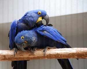 Talented and well tamed hyacinth Macaws for adoption (Anodorhynchus   hyacinthinus)