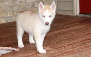 Gorgeous Gray Siberian Husky Puppies 4 Sale Eau Claire Wi