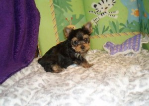 Monroe Monroe Yorkshire Terrier Puppies For Sale