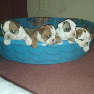 AKC English Bulldogs In time for Christmas