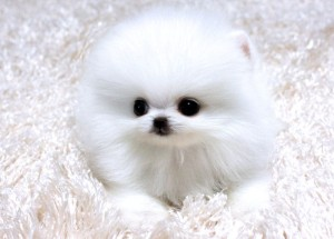 Toy Teacup Akc Tiny Teacup Pomeranian Puppies For Adoption