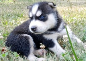 blue-eyed Siberian huskies