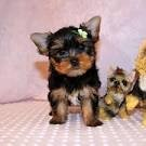 Affectionate and lovely yorkie puppies for rehoming3
