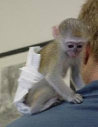 Home Raised Capuchin Monkey Available