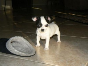 Lovely looking outstanding healthy chihuahua puppies available