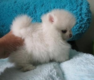 Great pomeranian Puppies AKC Registered For New Homes