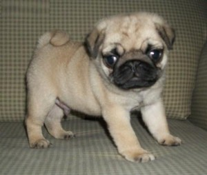 Akc Registered Pug Puppies Ready To Go No Call Only Text 9087364926