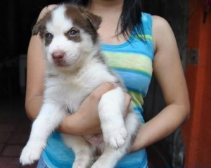 Free Affectionate male and female siberian husky puppies with pedigree
