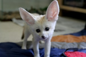 Lovely And Cute Fennec Fox Puppies For Sale Alabaster Al