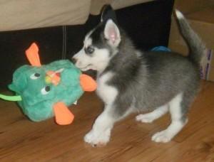 5girls 4boys Siberian Husky Puppies For Sale Aberdeen Sd