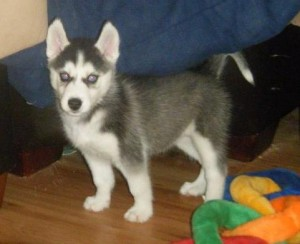 Runter Runter  Siberian Husky Puppies For Sale