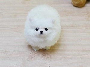 Male and Female Pomeranian Puppies.,,.,.