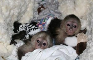 adorable capuchin younger monkeys for rehoming