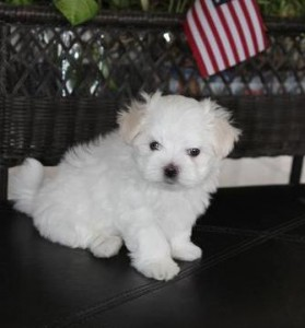 pure white maltese for re-homing