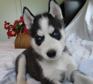 Nice 12 Weeks Old Male And Female Black And White Siberian Husky For