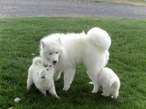 Teacup samoyed puppies for sale images amp pictures becuo