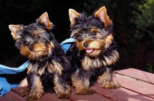 X-MAS Healthy yorkshire terrier  Puppies For Free Adoption