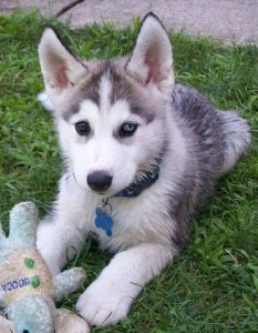 Adorable Siberian Husky Puppy for adoption