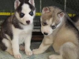 **pedigree siberian husky  puppies for adoption**