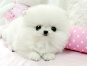 White Tea Cup Pomeranian puppy for adoption$130