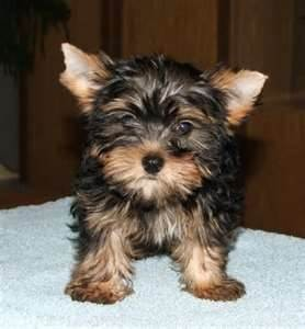 12 Week Old Pure Breed Female Yorkie Puppies Alabaster Al