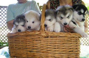 Gorgeous and Good Looking Alaskan Malamute Puppies