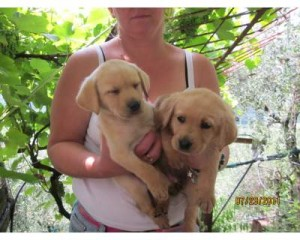 Labrador Puppies available