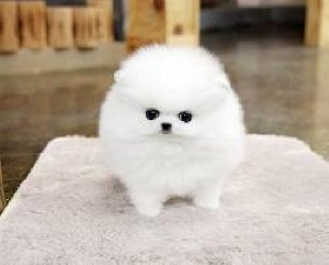 Teacup Pomeranian Puppies 917) 410-0027