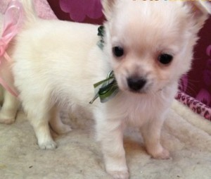 Affectionate White Teacup Chihuahua Puppies For Free Adoption