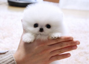 WHITE AND BLACK POMERANIAN PUPPIES FOR ADOPTION
