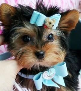 Lovely Yorkie Puppies for adoption=