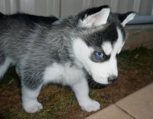huskies a vendre