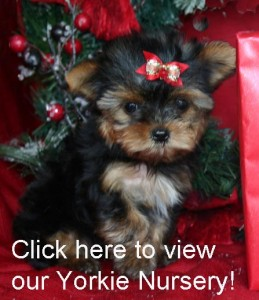 Gorgeous Christmas male and female teacup yorkie  puppies for adoption to good loving and caring homes
