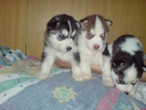 11 weeks old siberian huskies for re-home