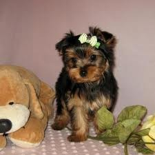 AWESOME X-MAS GIFTS YORKIE PUPPIES FOR FREE ADOPTION!!