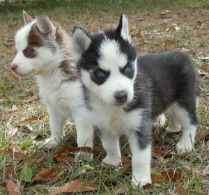 Fantastic Amazing Healthy male and female Siberian Husky Puppies for sale