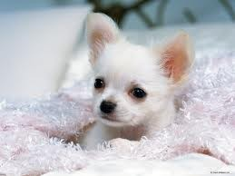 your X-Mass Tea Cup Chihuahua text now at (307)271-6715