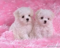 Teacup Male and Female Maltese Puppies for Christmas Text Now At (973) 813-5602