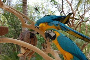Top recent  pair of blue and gold macaws