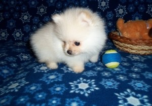 Cute Pomeranian puppies for free urgent