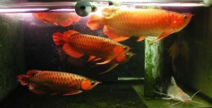 RTG Arowana, Golden Arowana and many others Available on sales now