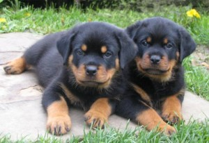Rottweiler Puppies Male And Female Rapid City Sd Asnclassifieds