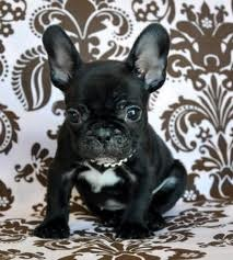 AKC 12 weeks old french bulldog puppies Male and female for good homes