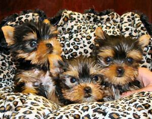 HEALTHY WELL TAMED TEACUP YORKIE PUPPIES FOR FREE ADOPTION