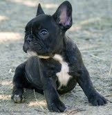 X-mas French Bulldog puppies for adoption
