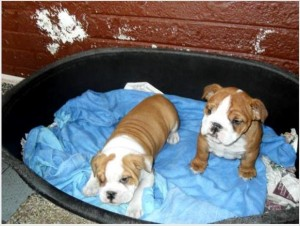 Awesome English Bulldog Pups for sale