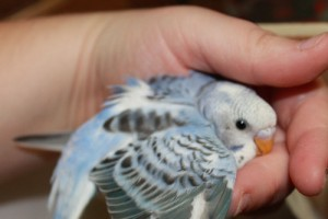 Violet Budgie- Perfect Gift for X-Mas