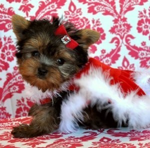 Baby Teacup Yorkies for Free